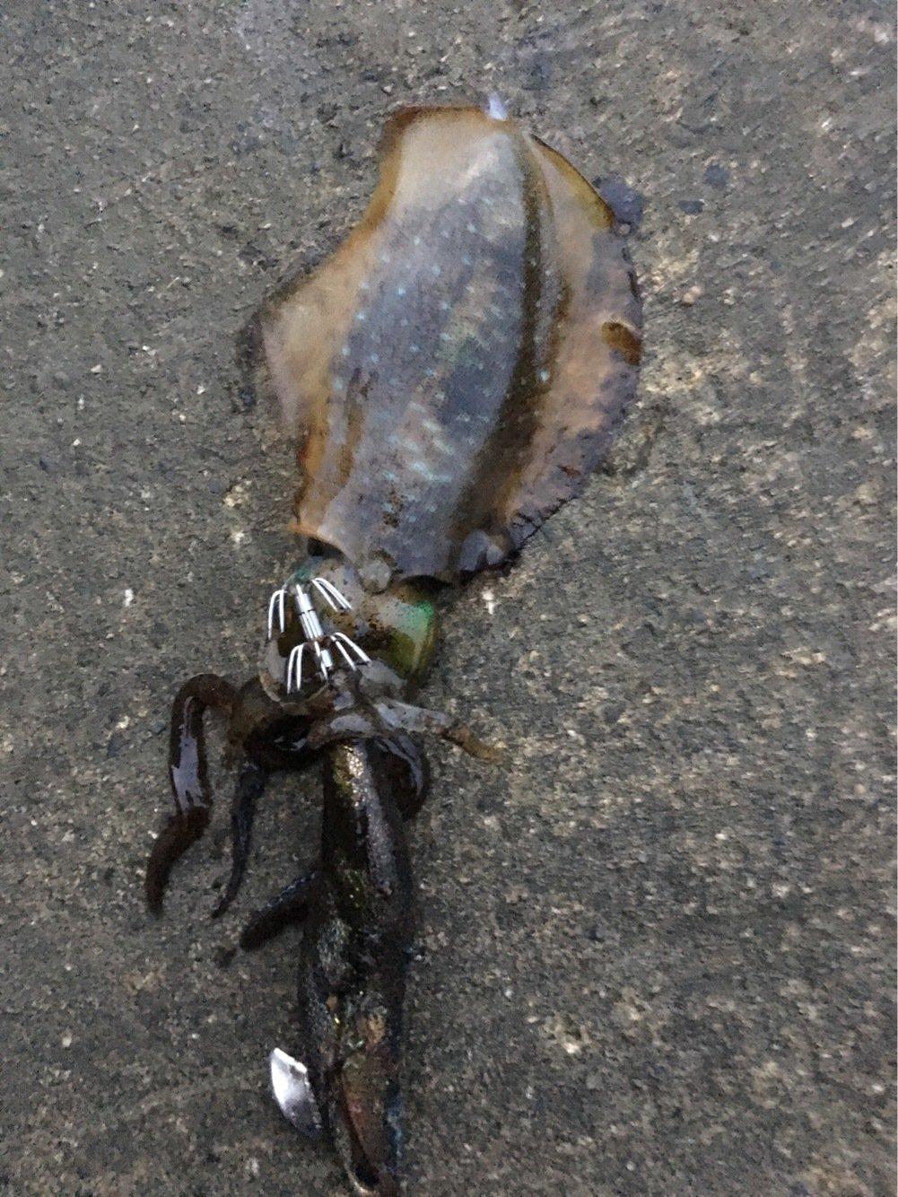 シャクラーMさんの投稿画像,写っている魚はアオリイカ