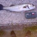 D-LITEさんの福岡県北九州市でのスズキの釣果写真