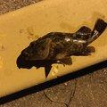 ハルはるさんの大分県速見郡での釣果写真