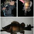 タツヨシさんの青森県青森市でのソイの釣果写真