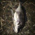間抜けさんの和歌山県日高郡での釣果写真
