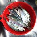 DIABLOさんの秋田県由利本荘市での釣果写真