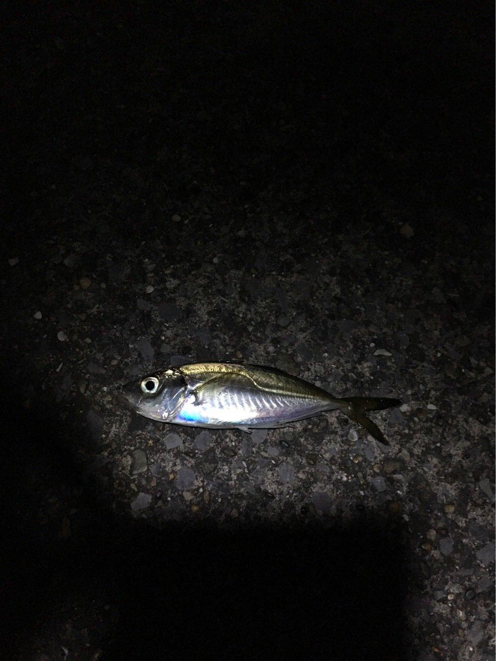ゆうとさんの投稿画像,写っている魚はアジ