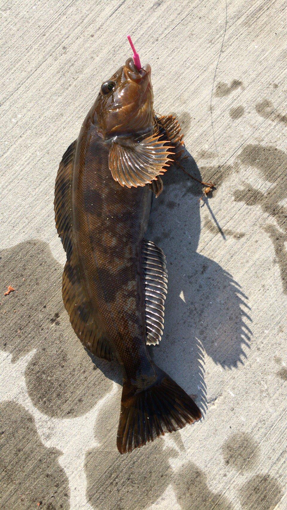 月詠さんの投稿画像,写っている魚はアイナメ