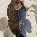 月詠さんの宮城県でのアイナメの釣果写真