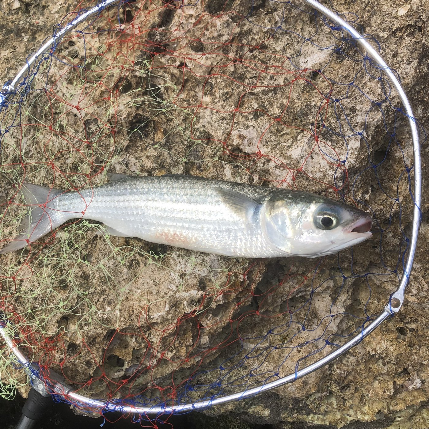 ムッシューむらむらさんの投稿画像,写っている魚はボラ