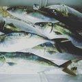 アダチカズロバさんの京都府京丹後市での釣果写真