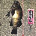 TOMOさんの富山県射水市でのメバルの釣果写真