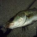 T.Nakajimaさんの東京都品川区での釣果写真