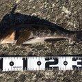 GGさんの青森県でのアイナメの釣果写真