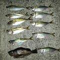うっちーさんの鹿児島県出水郡での釣果写真