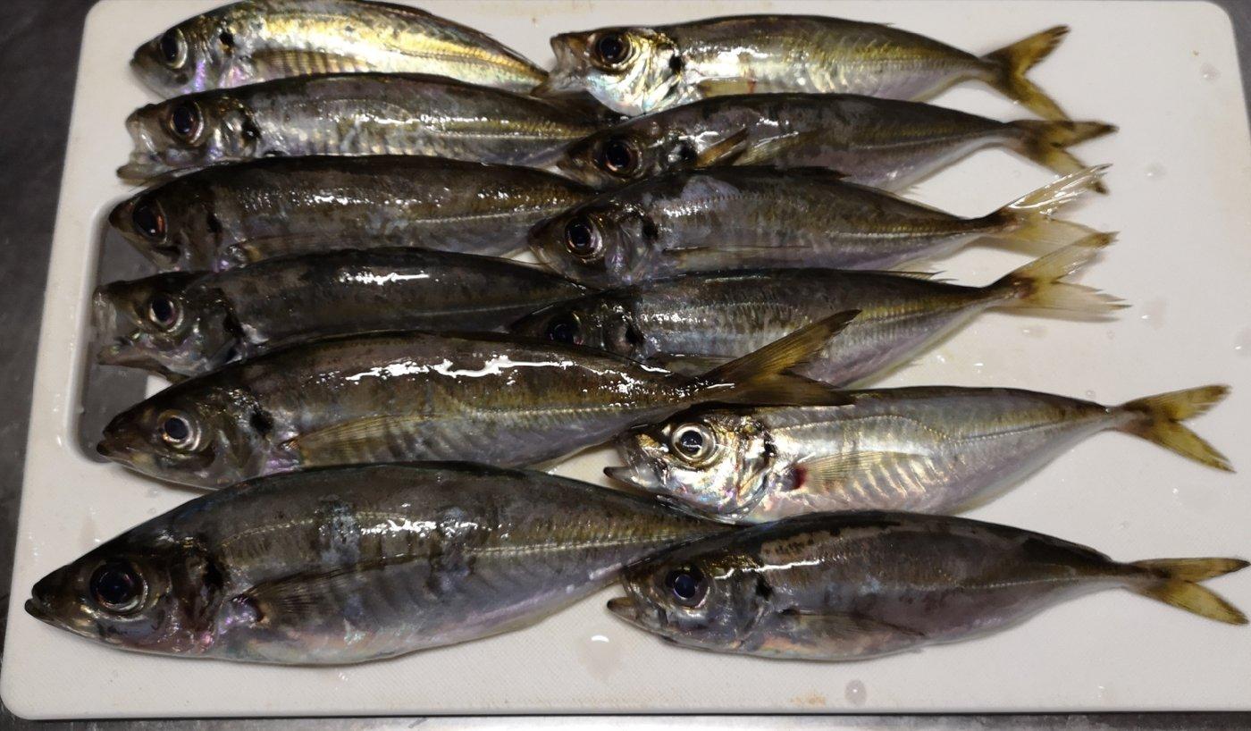 tomoさんの投稿画像,写っている魚はアジ