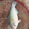 ぺこちゃんまんさんの沖縄県名護市での釣果写真