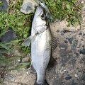 ミータさんの福岡県糸島市でのスズキの釣果写真