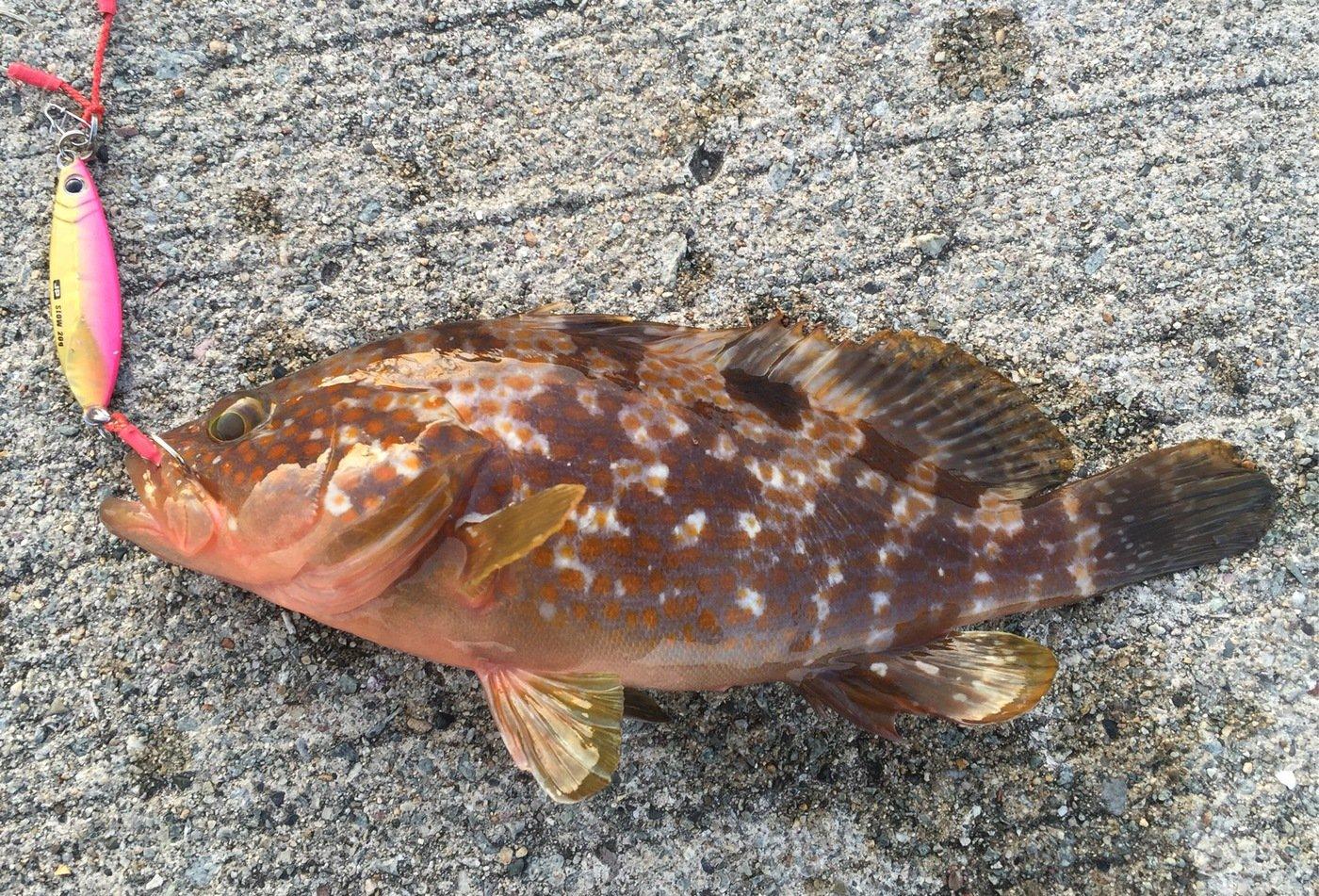 NCMさんの投稿画像,写っている魚はキジハタ