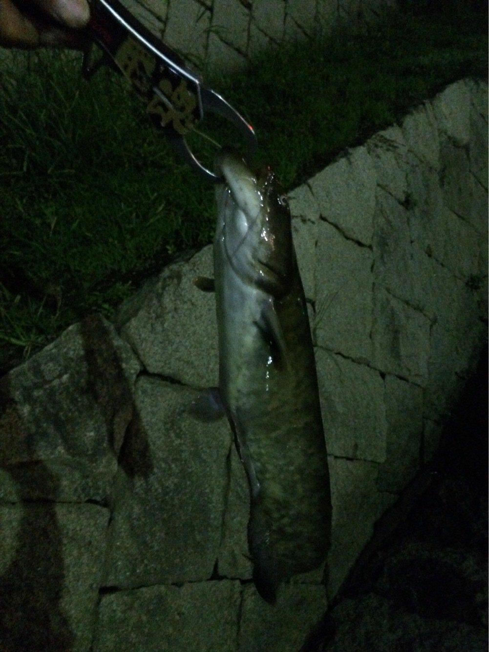 CCBさんの投稿画像,写っている魚はナマズ