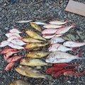 サバイバルさんの鹿児島県出水郡での釣果写真