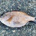 松本 デラックス 恵さんのウミタナゴの釣果写真