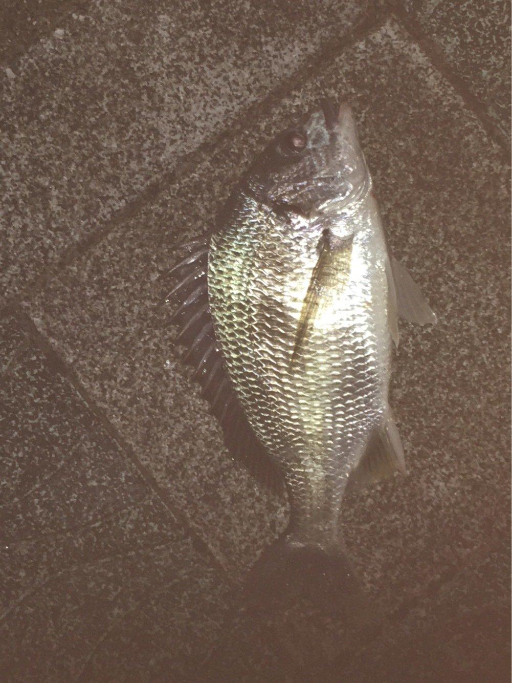サボテンさんの投稿画像,写っている魚はキチヌ