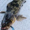 はんたまるさんの宮城県でのアイナメの釣果写真
