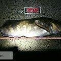 にじますさんの北海道古宇郡での釣果写真