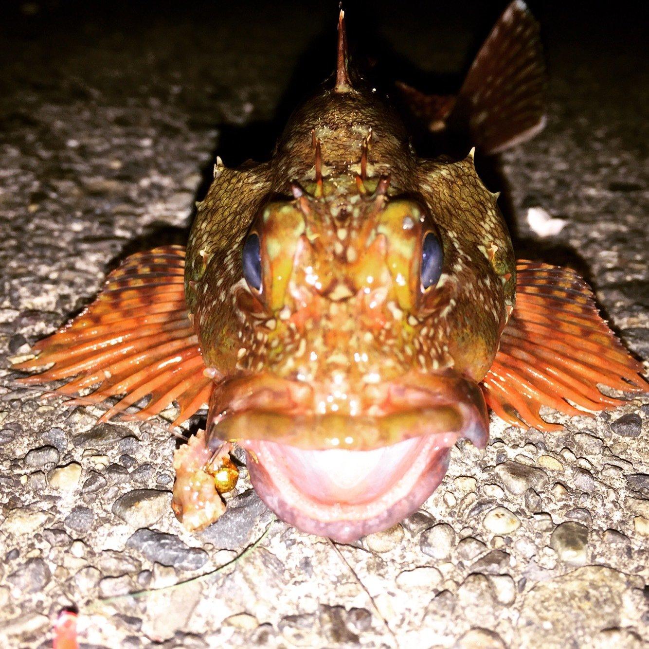 ゲコゲコさんの投稿画像,写っている魚はカサゴ