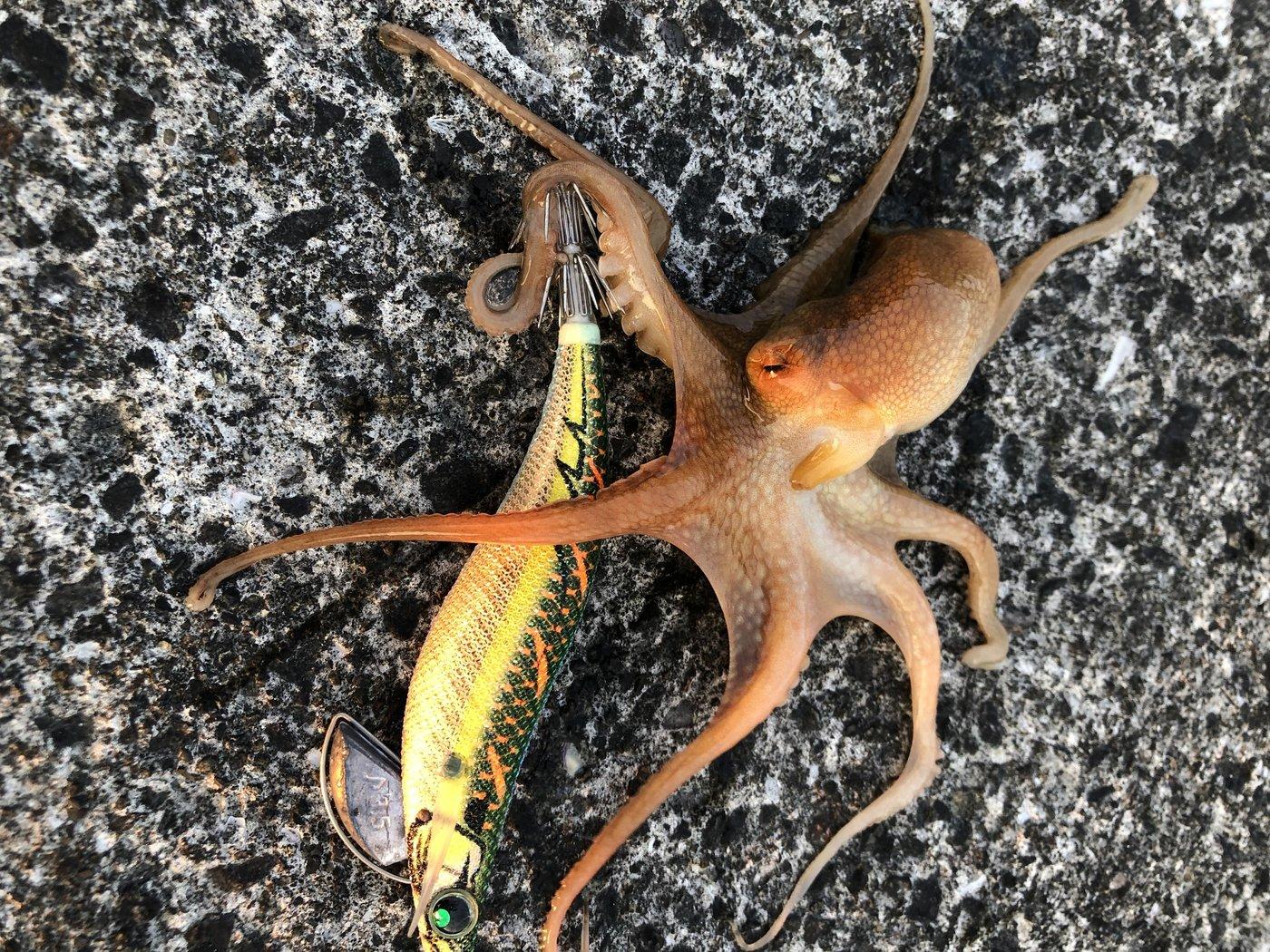 タイさんの投稿画像,写っている魚はイイダコ
