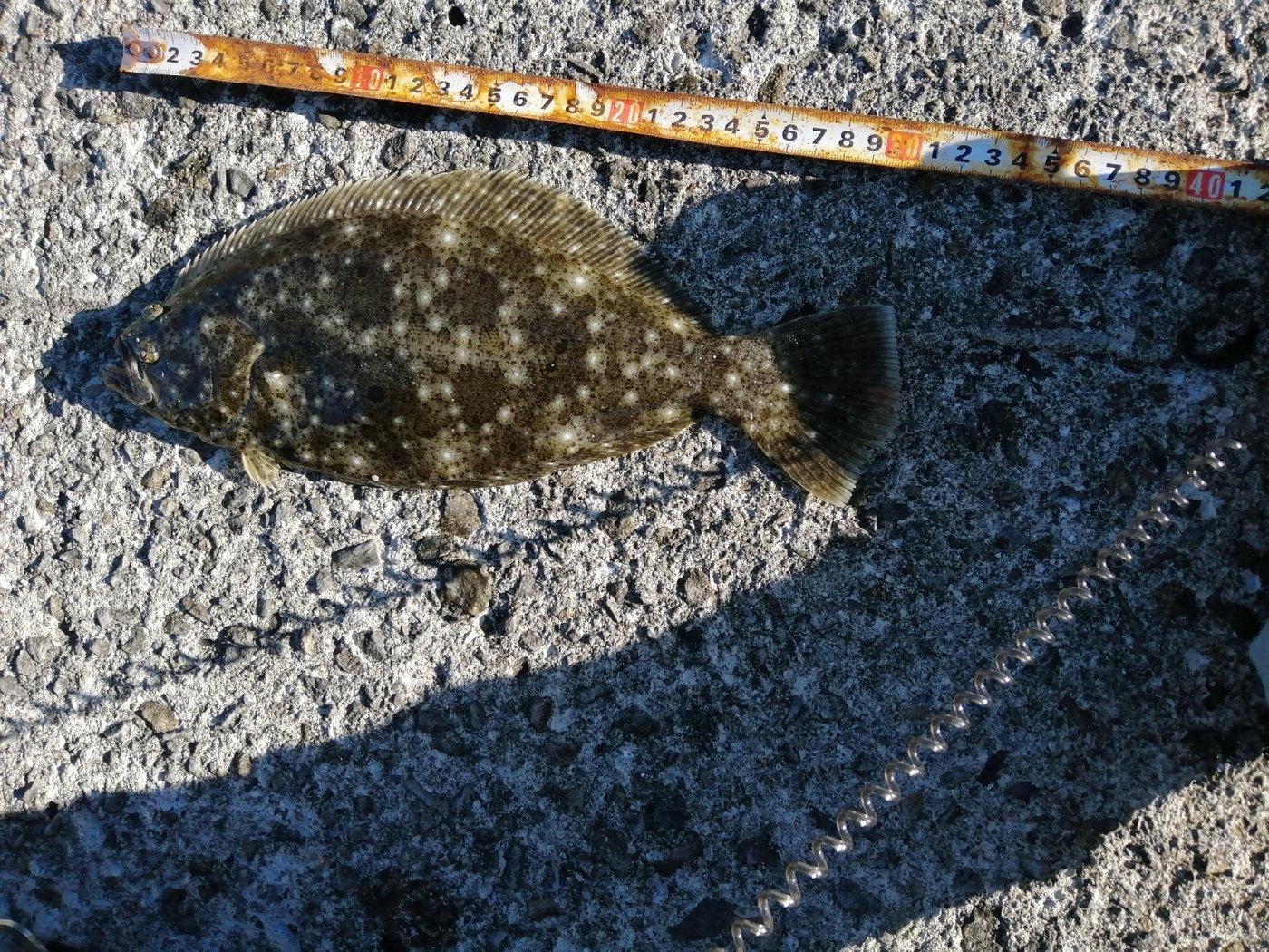 kikunさんの投稿画像,写っている魚はヒラメ