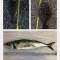 しんでぃーさんの千葉県富津市でのヒラメの釣果写真