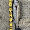 東のアングラーさんの千葉県いすみ市での釣果写真