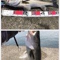 サイトさんの徳島県小松島市でのスズキの釣果写真