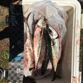 shamrockさんの福島県二本松市での釣果写真