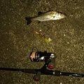 アスパラさんの福岡県でのスズキの釣果写真