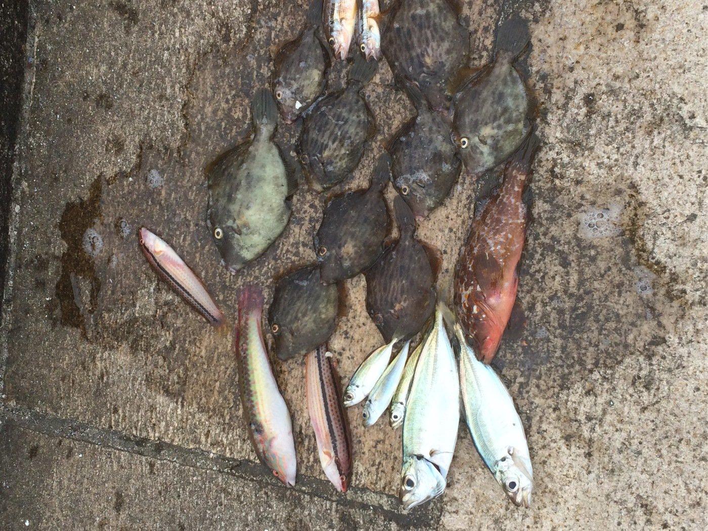 勝さんの投稿画像,写っている魚はカワハギ