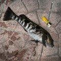 あんくさんの宮城県でのアイナメの釣果写真