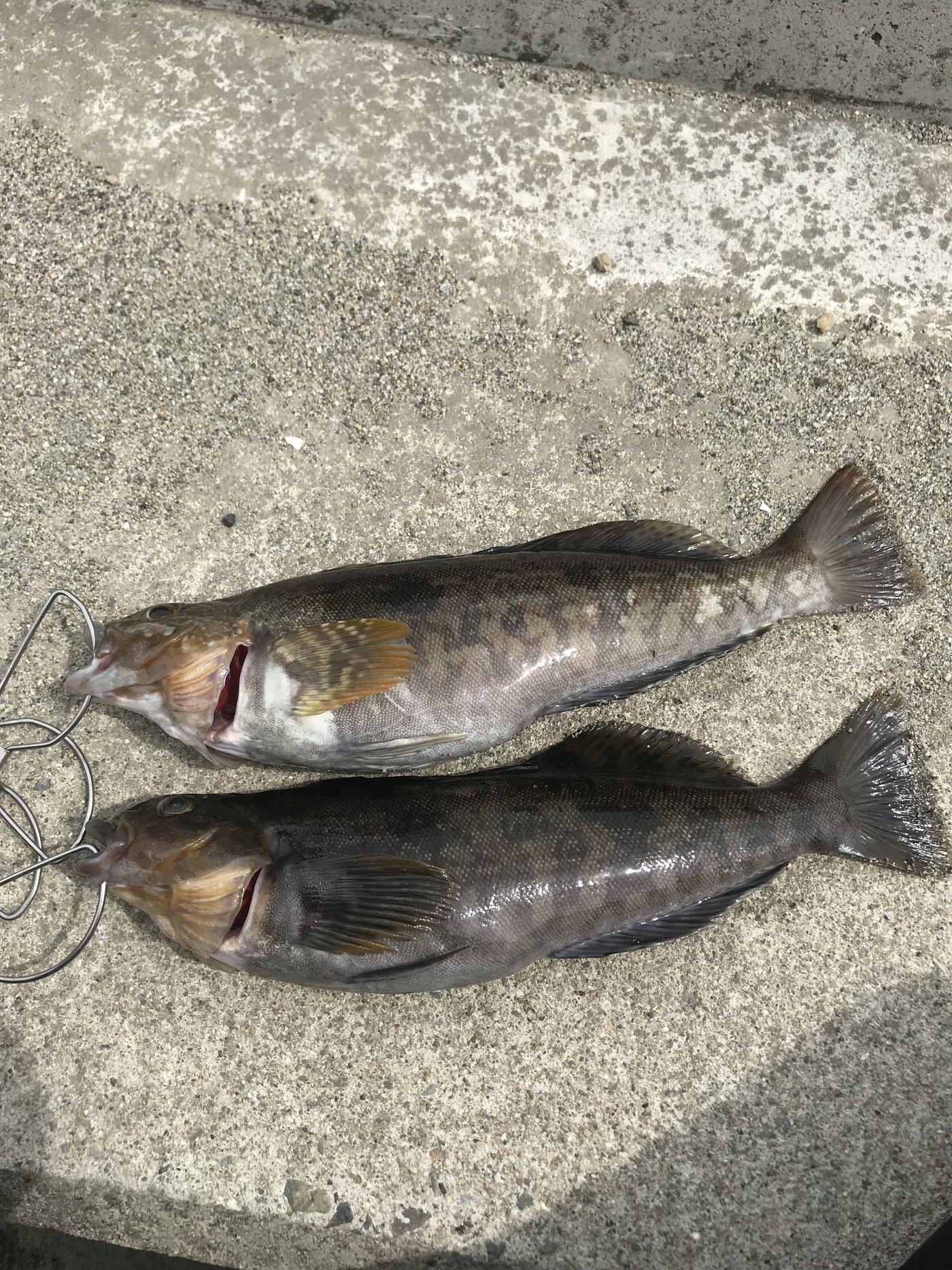 Kouheiさんの投稿画像,写っている魚はアイナメ