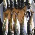 ビビカズさんの大分県臼杵市での釣果写真