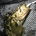 アッキーさんの宮城県石巻市での釣果写真