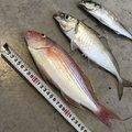 たかわんさんの長崎県西海市での釣果写真