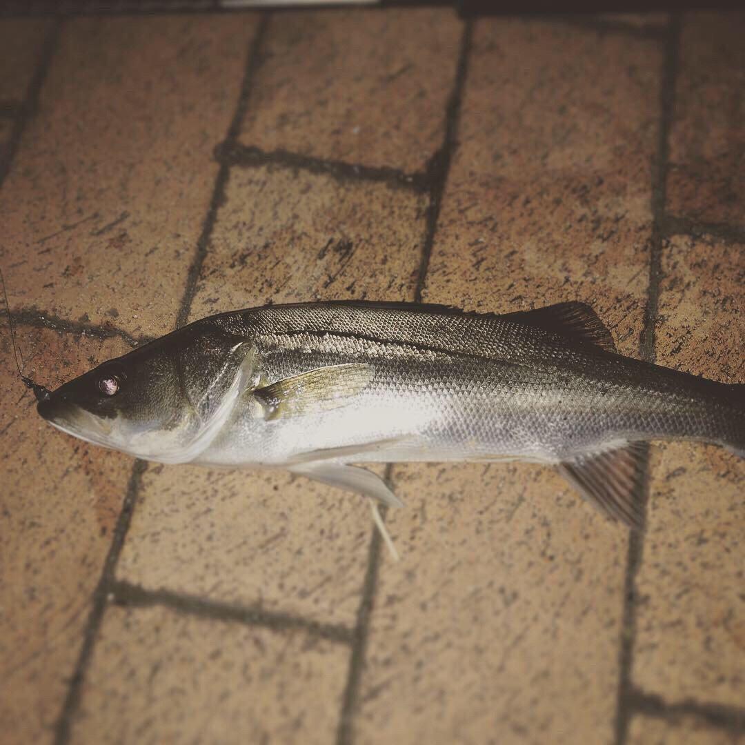 ねこまつさんの投稿画像,写っている魚はスズキ