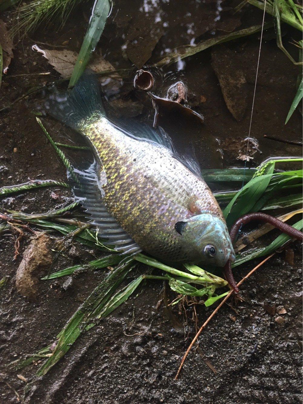 かじさんの投稿画像,写っている魚はブルーギル