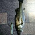 GACCIさんの東京都中央区での釣果写真