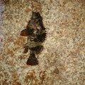 おぐさんのタケノコメバルの釣果写真