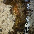 穴吹あきひろさんのオニオコゼの釣果写真