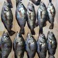福助さんの長崎県島原市での釣果写真
