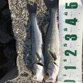 ガンナーズさんの石川県かほく市での釣果写真