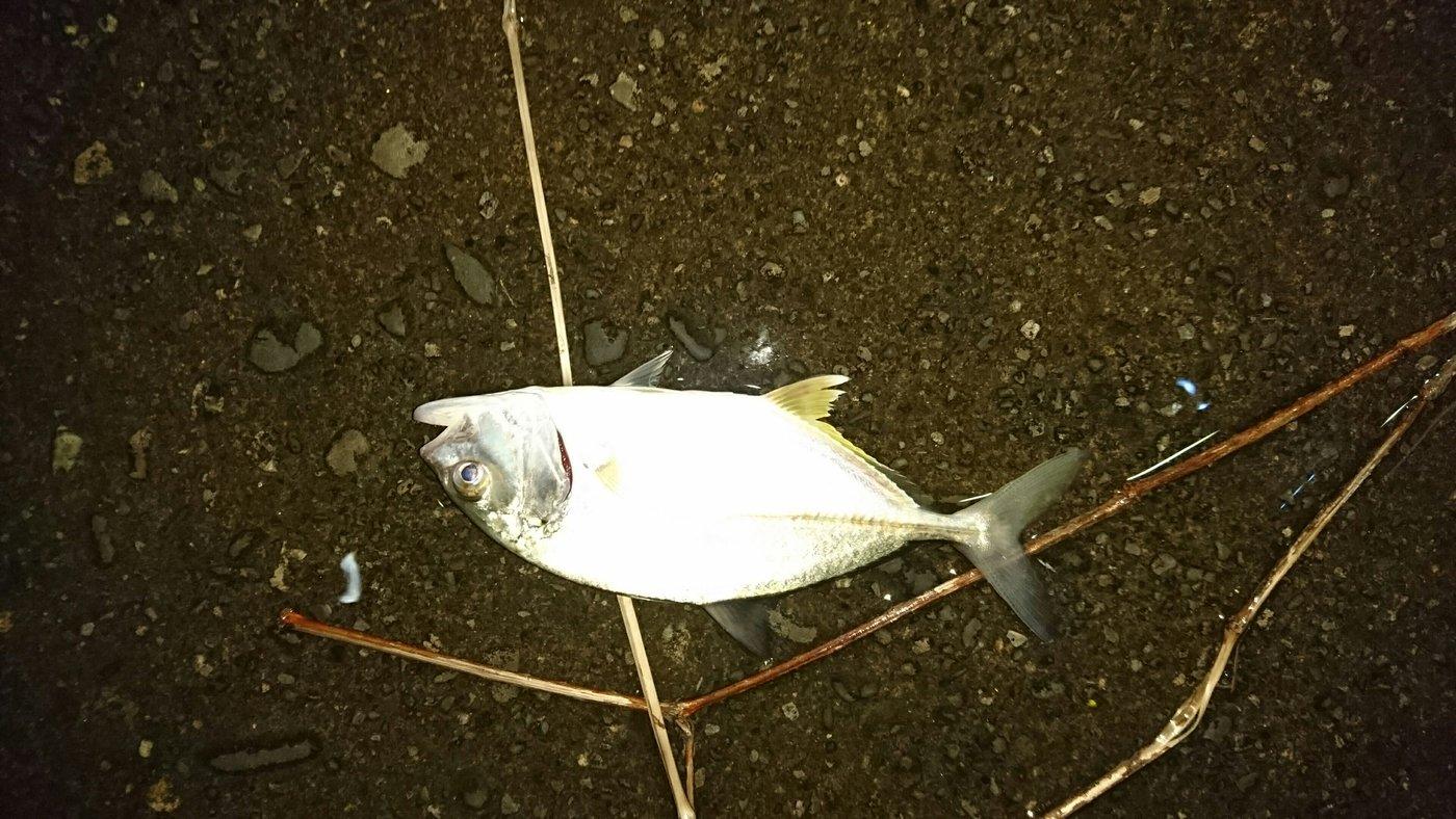 あおさんの投稿画像,写っている魚はギンガメアジ