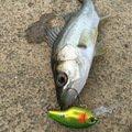ひょーどるさんの福岡県古賀市でのスズキの釣果写真