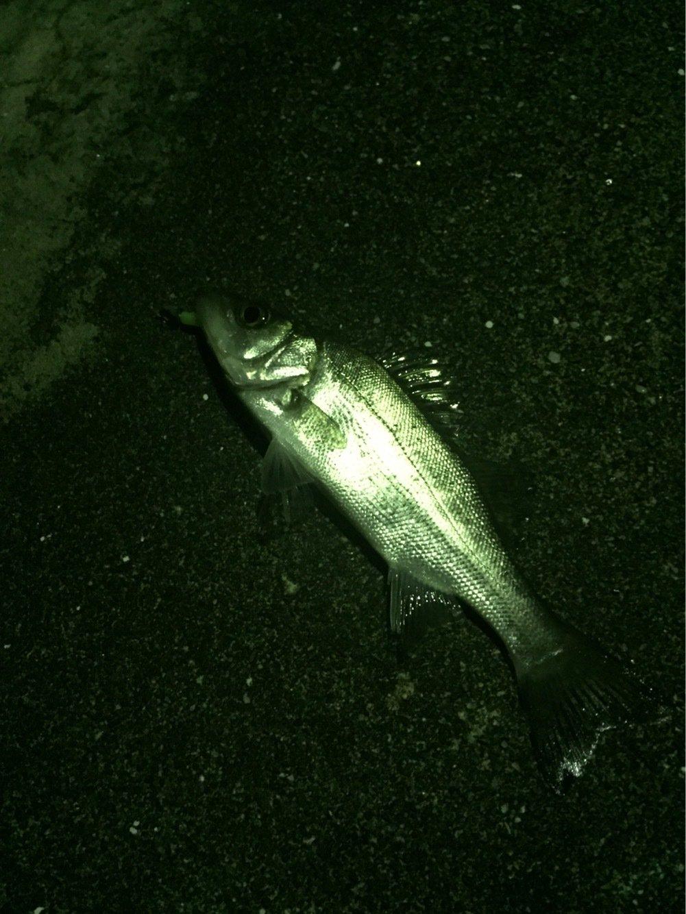ひがし三重さんの投稿画像,写っている魚はスズキ