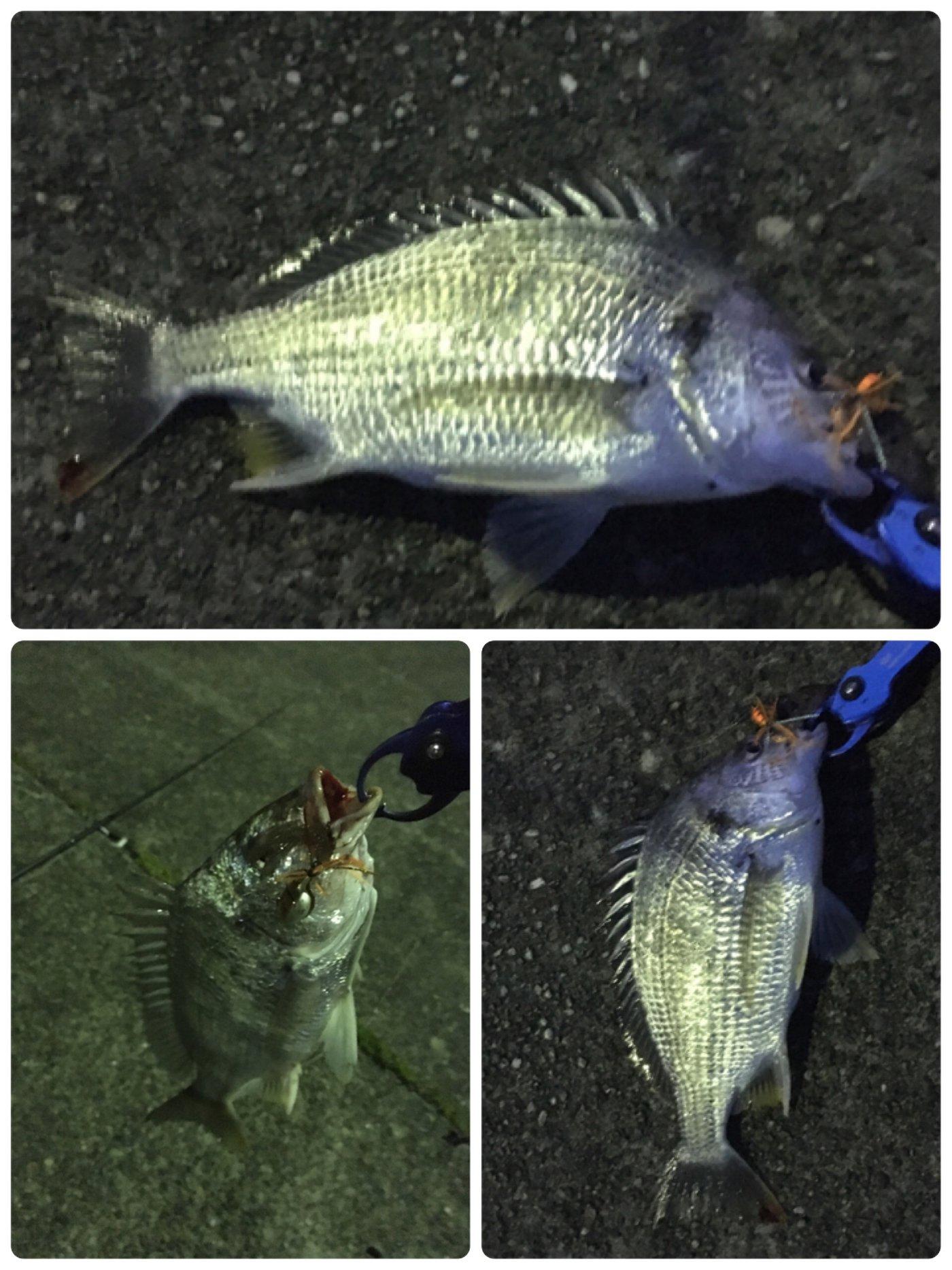 リッシーさんの投稿画像,写っている魚はキチヌ